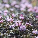 maleńka płożąca roślinka, popularna na kamienistych halach