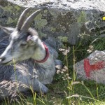 koza i szlakowy znak