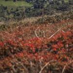 jesiennie przebarwione jagody