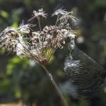 nasiona w pajęczynach