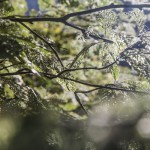 nadgryzione liście jarząbu