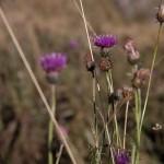 osty- jedne z ostatnich jesiennych kwiatów