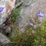 kwiatek w Mercantour