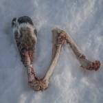 noga renifera