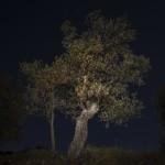 sady oliwne