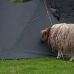 ciekawska islandzka owca