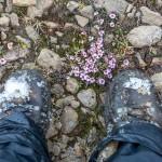 Islandia wiosną - lepnica bezłodygowa
