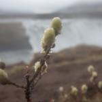 Islandia wiosną- wierzbowe bazie