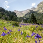 Pireneje lipiec , Irysy