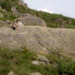 Pireneje, Lipiec -świstak