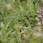 Pireneje, lipiec (11) lilia maragon