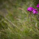 Pireneje, lipiec (2) goździki