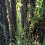 Chile, bambusy