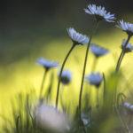 stokrotka w trawniku