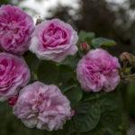 moja róża i moje mszyce
