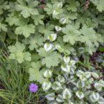 niezawodne rośliny zadarniające: bodziszek korzeniasty, jasnota gajowiec i szczypiorek