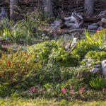 mój skalny ogródek w kwietniu