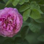 moja róża - zbliżenie