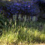 nasiona szafirków