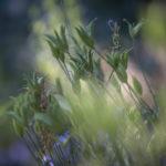 orlik- nasiona